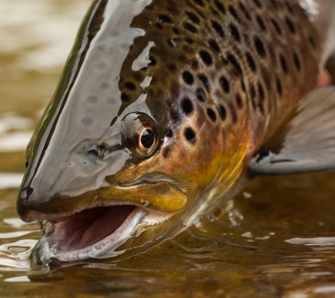 https://www.unicoilodge.com/wp-content/uploads/2019/04/Mountain-Trout-from-Mountain-Stream.jpg